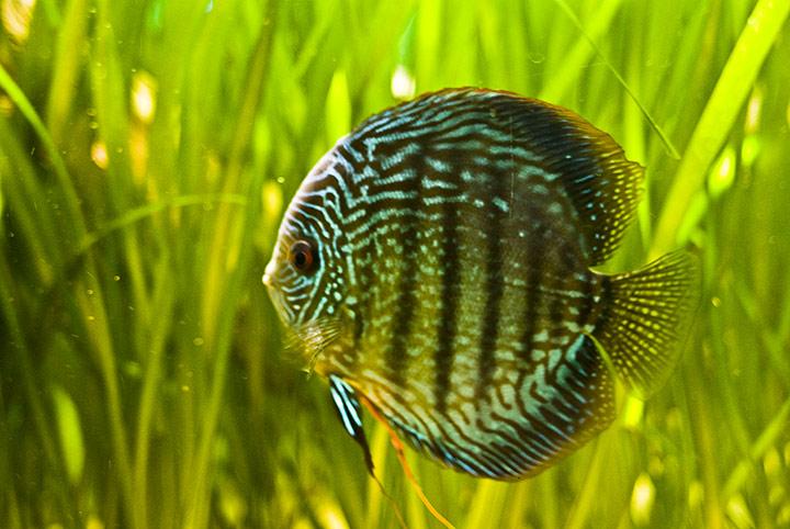 Aquarium fish others discus fish for Discus fish types