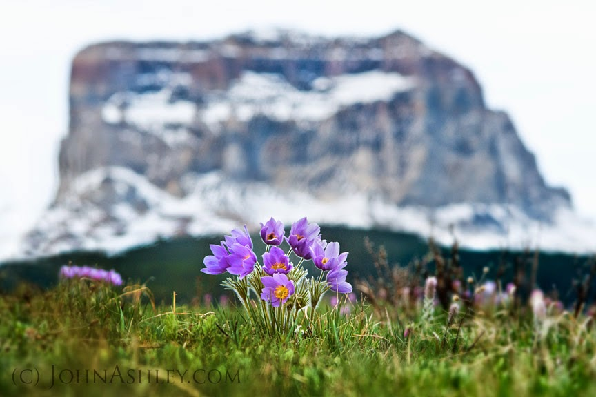 Chief Mountain Pasqueflowers (c) John Ashley