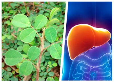 You know the plant that helps the liver to regenerate