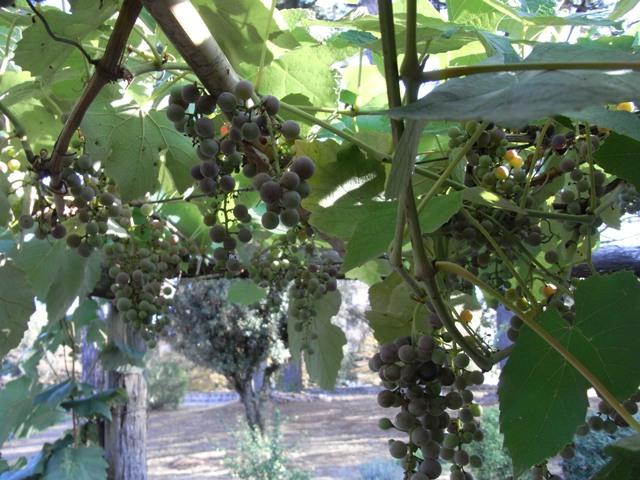 Di lana cotta il giardino povero 3 raccolta for Uva fragola in vaso