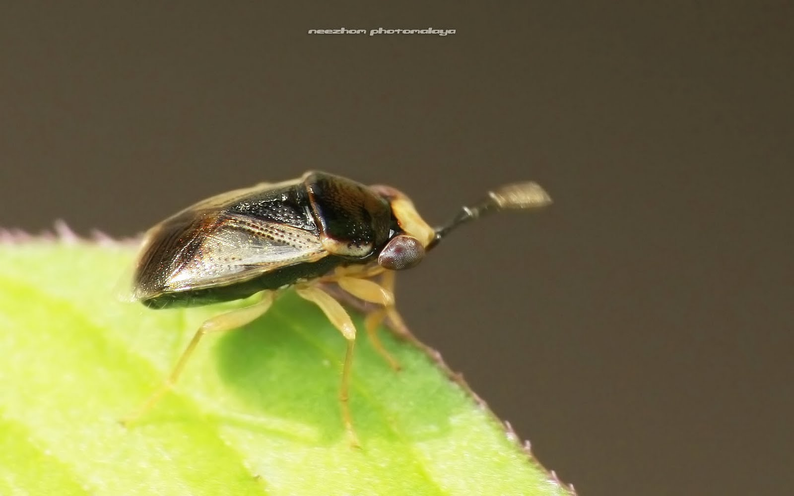 dark brown and beige planthopper