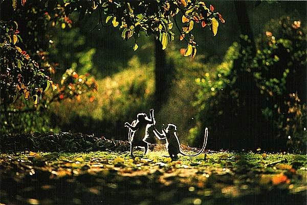 Обычные лангуры, Индия