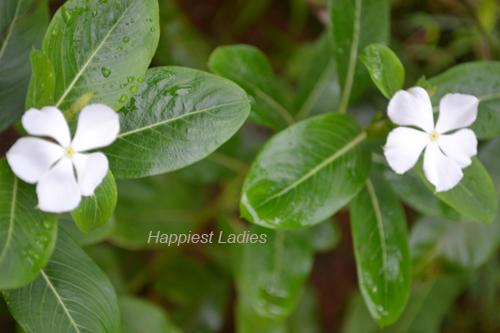 Vinca-Rosea-white--flower+-white-flower-oil.png