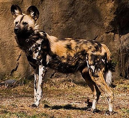 Painted Dog Animals | Amazing Facts & Latest Pictures ...