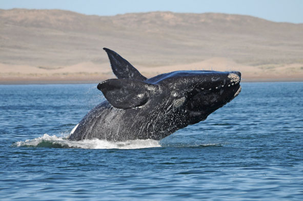 dolphins in patagonia Whale watching chile patagonia  whale watching trips vary in price from approx usd800 per person to usd1,800 per person for a 1 day and  austral dolphins,.