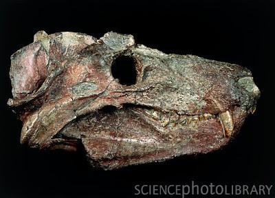 craneo de Cynognathus
