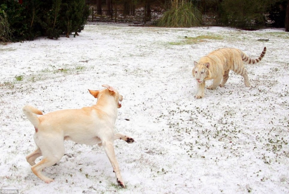 Buda the labrador retriever has fun in the snow with his best friends (Photos -Video)