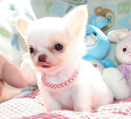 Cute Dogs: White Chihuahua Dogs