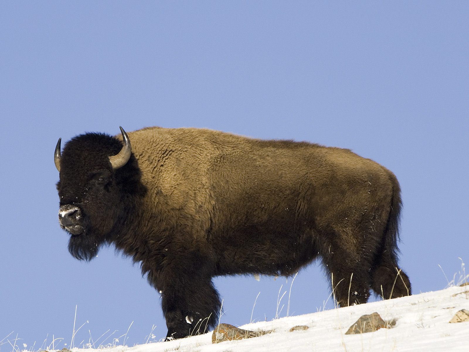 Funny buffalo picture for desktop |Funny Animal Pictures