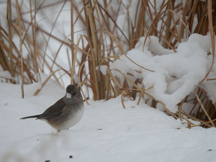 ...after rooting for seeds in the snow, this little female comes up with a snootful! 