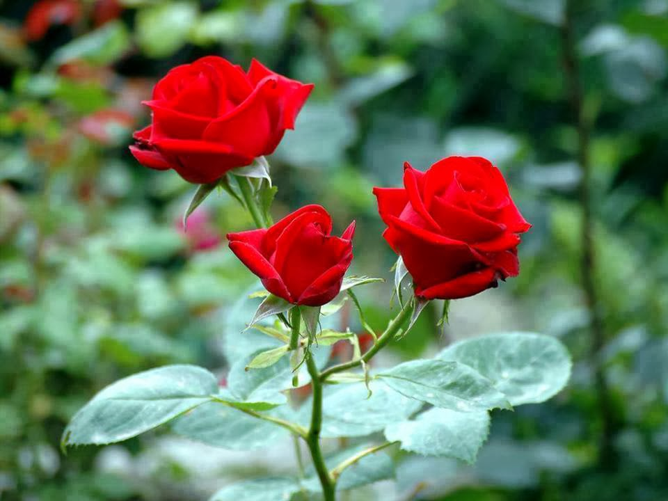 beautiful lovely rose red color