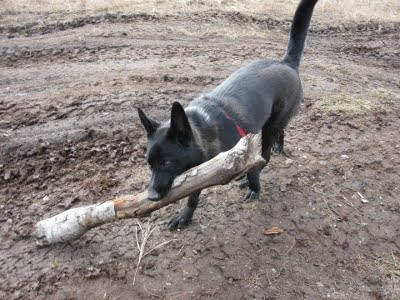 Andy the dog carrying a giant stick.