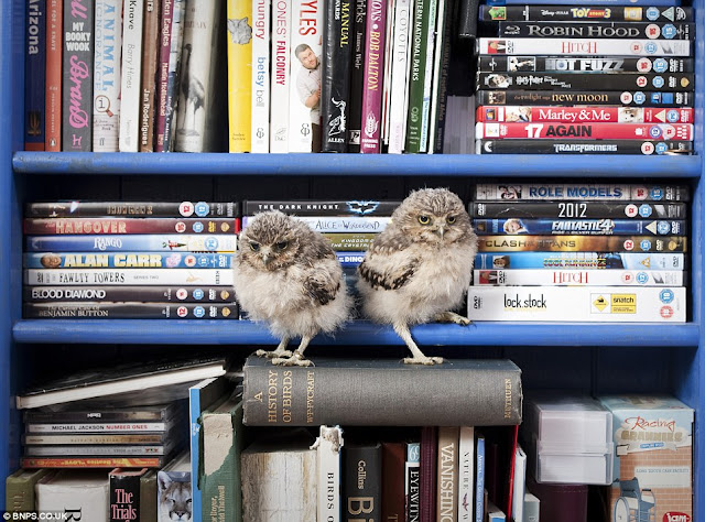 cute baby owls, baby owls get a new home, orphaned baby owls at longleat safari park, burrowing owlets