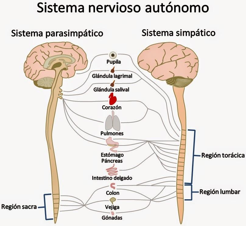 Biología - Sistema Nervioso : Clasificación funcional del sistema ...