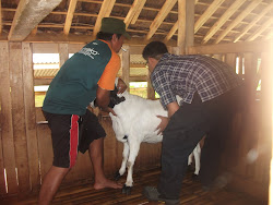 Kunjungan dan Pengecekan Ternak ke Peternakan Kambing Etawa tgl 20 Maret 2013