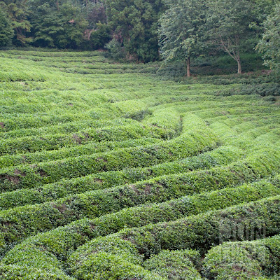 Daehan Green Tea Plantation in Boseong, South Korea.