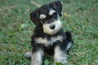 cute Miniature Schnauzer black white puppy photo in the grass of garden download free puppy photos and dog breed images