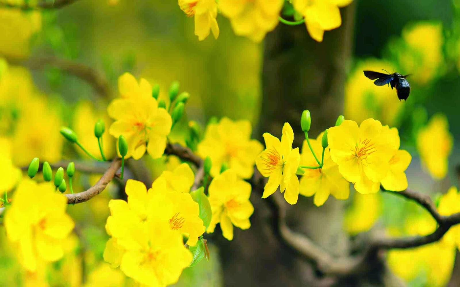 hình nền hoa mai đẹp cho pc