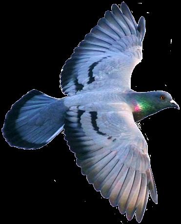Resultado de imagen para paloma EN MOVIMIENTO png