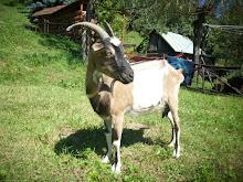 Nasze kozy