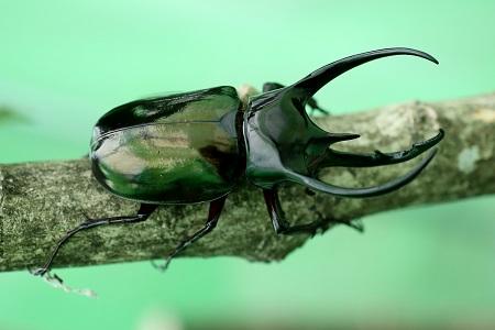Caucasus beetle