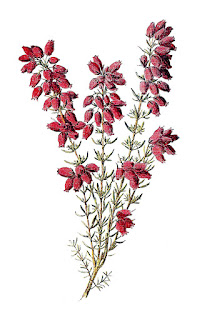 stock flower image heather