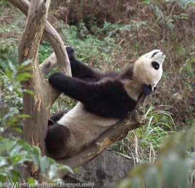 panda bears pictures 31