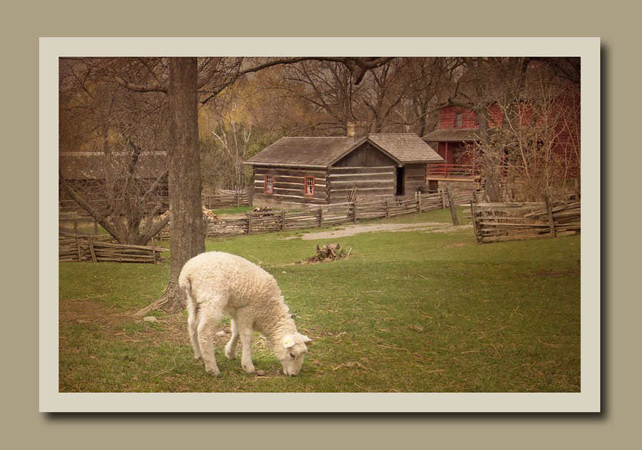 A lamb grazing in the field in front of the Stong Farm at Black Creek Pioneer Village.  Holly Cawfield Photography