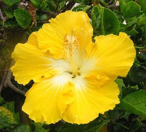 Hibiscus Flowers Pictures: Hawaiian Hibiscus Flowers # 3