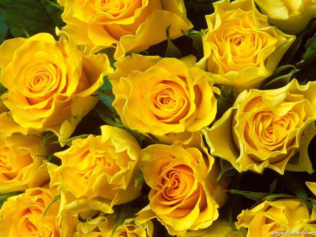 COLORS OF ROSES: YELLOW ROSES