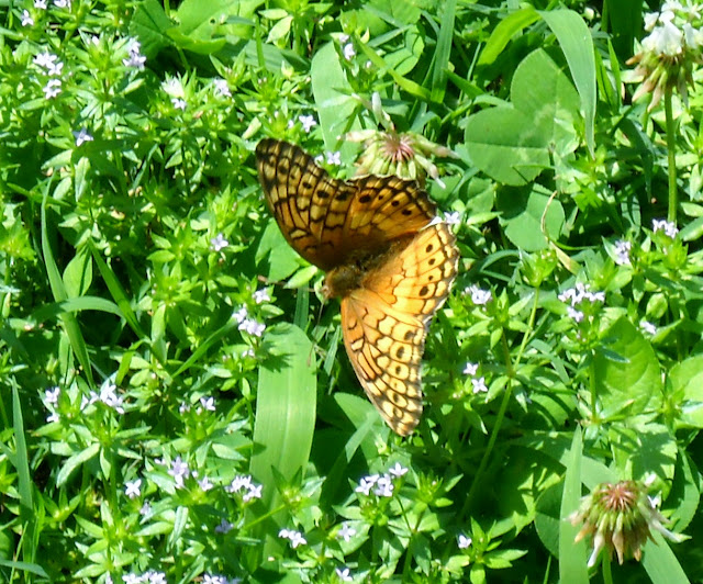 Beautiful butterfly pollinating wildflowers at White Rock Lake