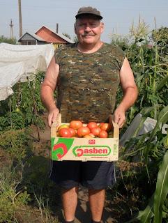 Собираю спелые помидоры