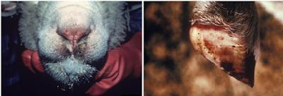 Hình 5: Cừu tiết dịch 2 bên mũi, loét mũi và tiết nước bọt qua mức (ảnh trái), móng cừu có nhiều đốm xuất huyết và sung huyết
