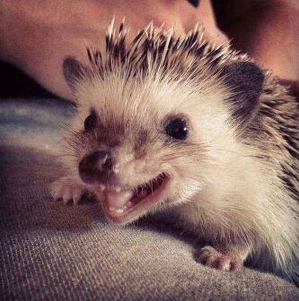 Funny animals of the week - 21 March 2014 (40 pics), funny animal pictures, happy hedgehog