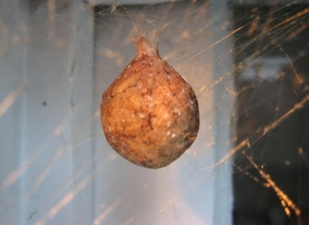 Natural history of raleigh photos garden spider goes quadruple for Garden spider egg sac