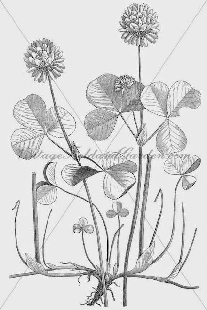 http://2.bp.blogspot.com/-udb4ABOu1Zs/U9peVsIRlpI/AAAAAAAAJQs/7EfBhEkEvIw/s640/1886+Trifolium+Stoloniferum+(Preview).jpg