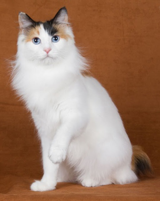Life expectancy of Japanese Bobtail Cat