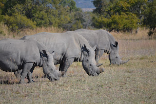 Rhinos at Mabula Game Reserve