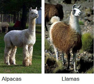 Alpacas/Llamas