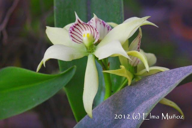 Encyclia aromatica. Foto de orquidea