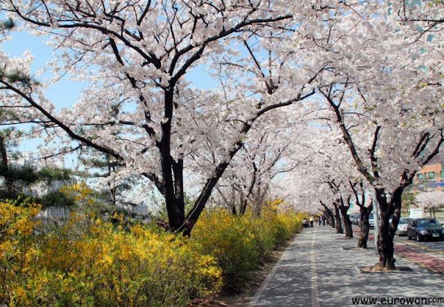 Flores de cerezo en Yeouido