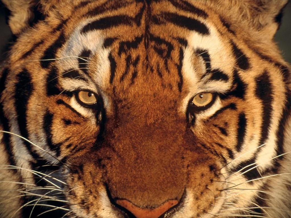 Hintergrundbilder Kostenlos Tiger - Desktop Hintergrundbilder Serfaus Fiss Ladis