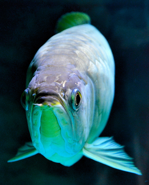 Red Banjar Arowana Types Fish Stockphoto