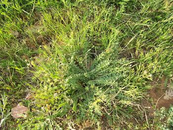CARDILLOS (Scolymus hispanicus o tagarninas)