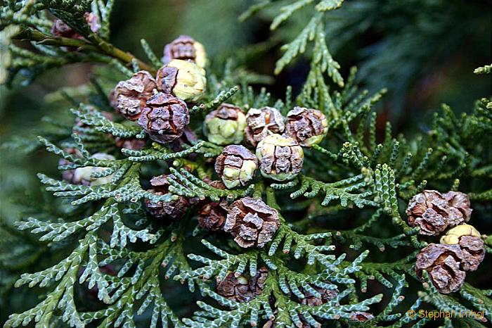 How to Plant Leyland Cypress How to Plant Leyland Cypress new pics