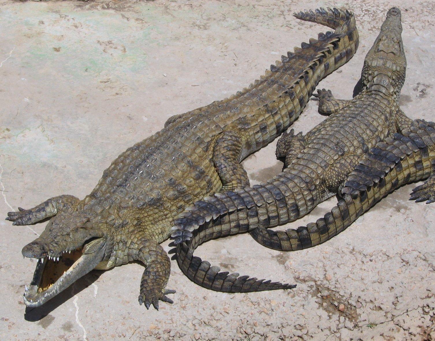 El cocodrilo del nilo (crocodylus niloticus) (animales salvajes
