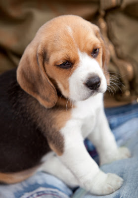 Cute Beagle Dog Breed Fotos