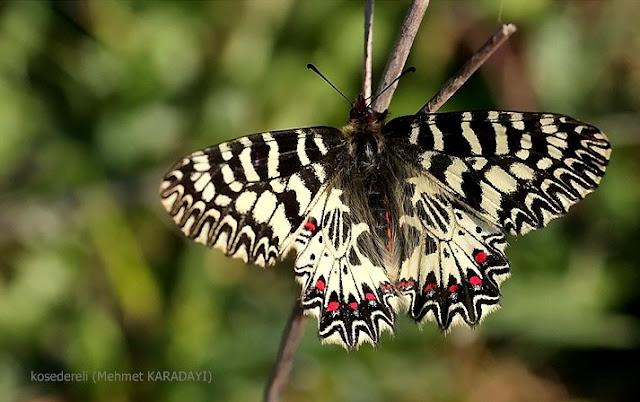 Güneşlenen güneyli fisto kelebeği
