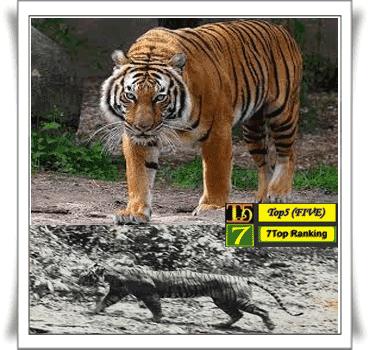 Harimau Jawa~ Panthera tigris sondaica