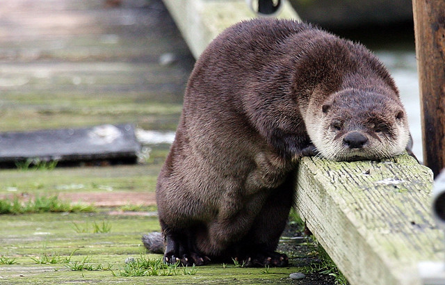 otter taking rest